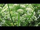 Toxic giant hogweed