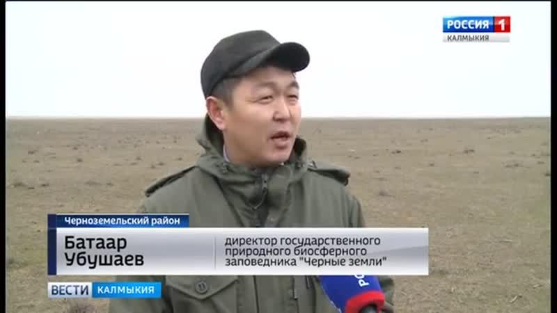 В Калмыкии увеличивается поголовье сайгаков