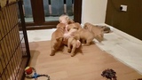 Baby Disappears In Tiny Puppy Stampede