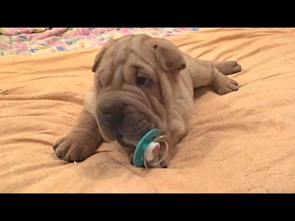 Shar Pei Puppies Play with Pacifier