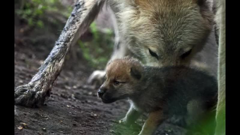 Волчата - Правда жизни