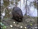 Beavers at Unexpected Wildlife Refuge, 25 June 1994