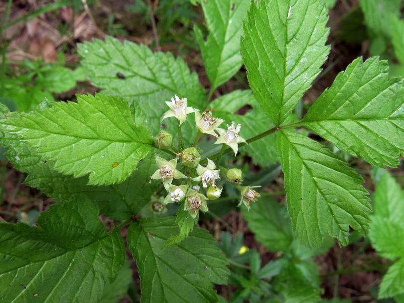 Целебные свойства лесного «сибирского» граната