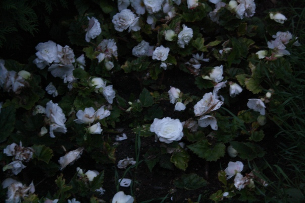 Красивые, но уже оцветающие розочки.  21 июля 2018