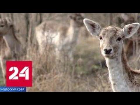 В Краснодарском крае планируют за несколько лет восстановить популяцию ланей - Россия 24