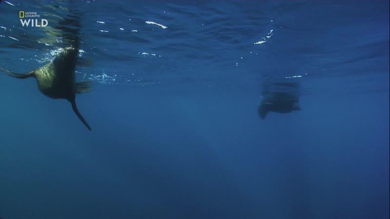Хищник в раю. На мелководье (2019) [P1. Велес] 2.4 ts
