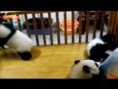 Упрямая панда пытается сбежать Невероятно милое видео