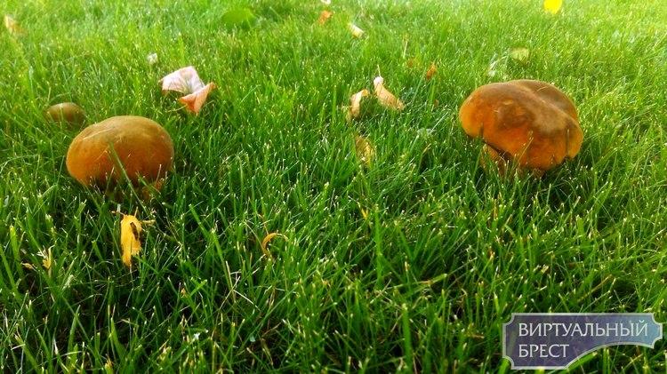 В Бресте на газоне второй год подряд растут грибы. Настоящие, лесные