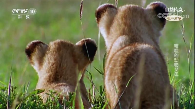 《БОРЬБА ЗА ЖИЗНЬ》Плохие родители животного царства