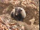 Семейная драма у барсуков. Badger family drama.