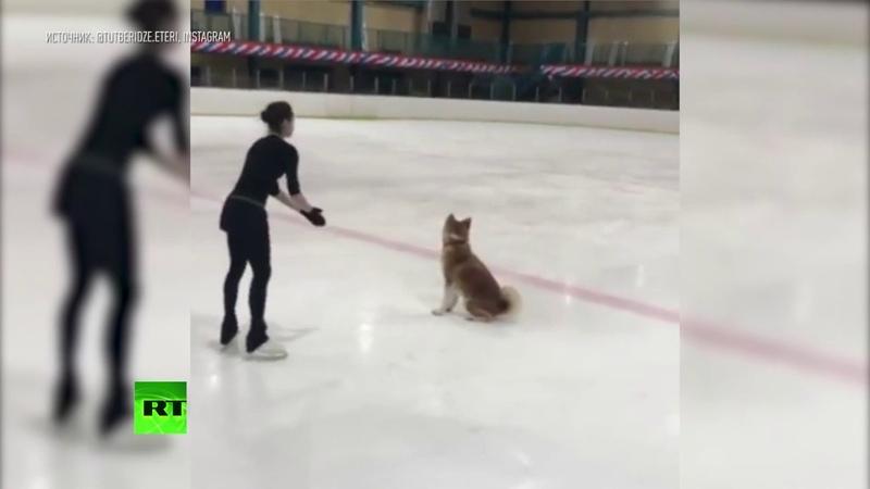Акита ину на льду Алина Загитова тренируется со своей собакой