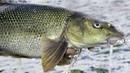Brzana z ciepłego kanału wędkarstwo feeder i Połaniec w zimie