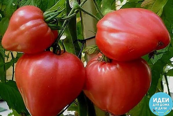 Раз обрезал - в три раза больше собрал! Хочу рассказать об одном интересном способе выращивания томатов, которым пользуюсь, третий год и результаты радуют. Вычитал тут в одной садоводческой
