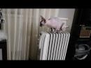 Так согреваются лысые коты