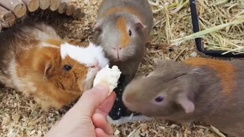 Baby Guinea Pigs - Guinea Pigs Eating – Funny Cute Guinea Pig Compilation 3