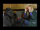 Watch Koko the Gorilla Use Sign Language in This 1981 Film _ National Geographic