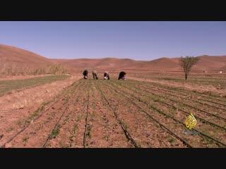 Шафра́н (Красное золото) الزعفران.. الذهب الأحمر لتالوين - المغرب
