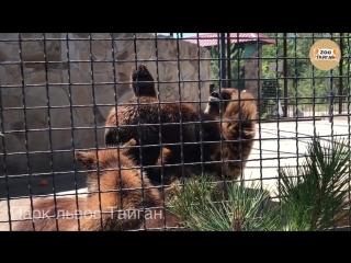 Кормление медвежат. тайган. крым. bear cubs eat