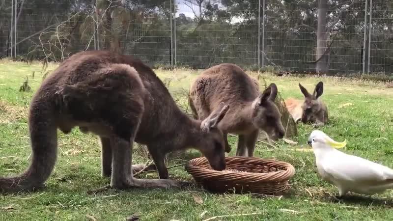Попугай подошел к корзине с едой и вступил в противостояние с двумя сумчатыми обитателями заповедника. Используя свой клюв в кач