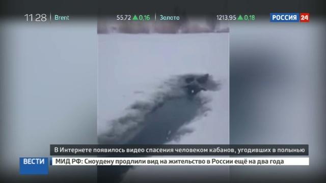 Новости на Россия 24 • Охотник на зайцев вытащил руками из полыньи трех кабанов