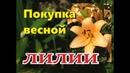 ЛИЛИЯ Покупка луковиц весной