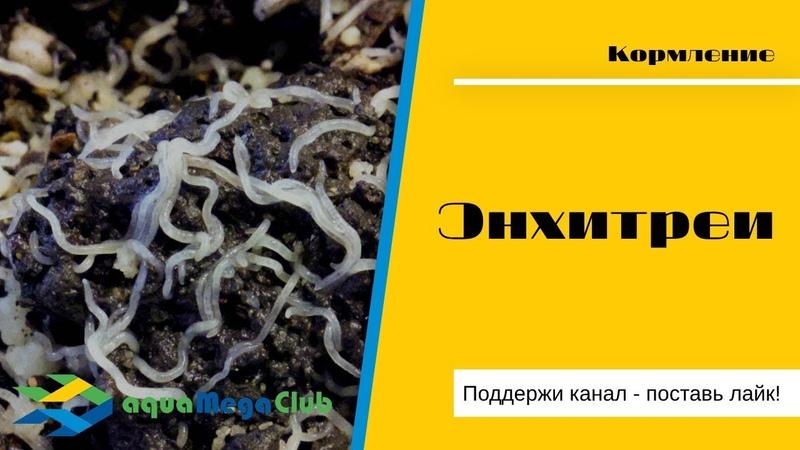 Энхитреи (черви энхитреусы) - корм для мальков и взрослых аквариумных рыбок своими руками