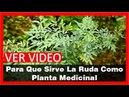 Para Que Sirve La Ruda Como Planta Medicinal Y Como Se Prepara Y Se Toma Para Que Sirve La Ruda