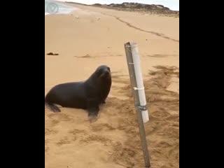 Морской котик преследует пойманную рыбку