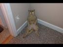 ПОПРОБУЙ НЕ ЗАСМЕЯТЬСЯ - Смешные Приколы с Животными до слез, смешные коты, funny cats 95