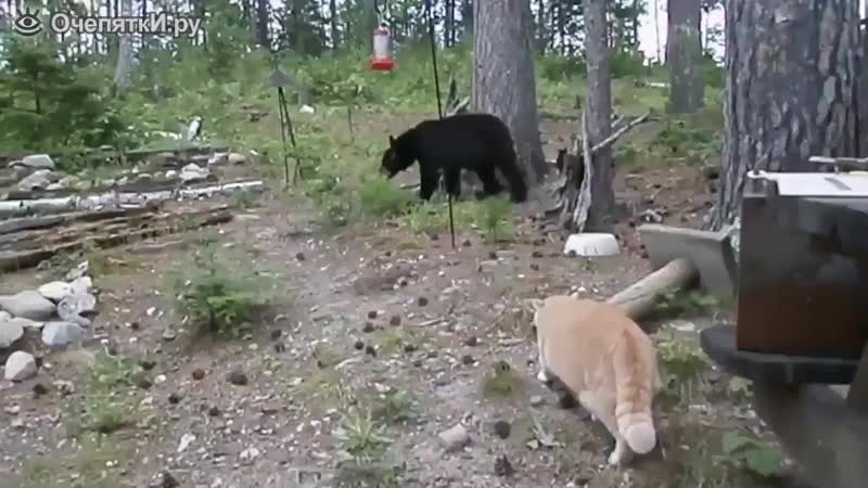 Рыжая кошка гоняет медвежонка