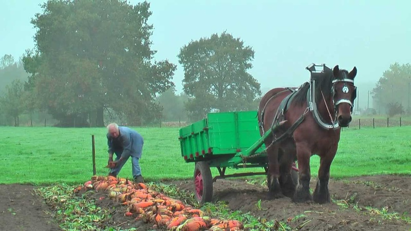 Belgian Draft Horses-beet harvest with respect for the environment-Berlaar-Belgium
