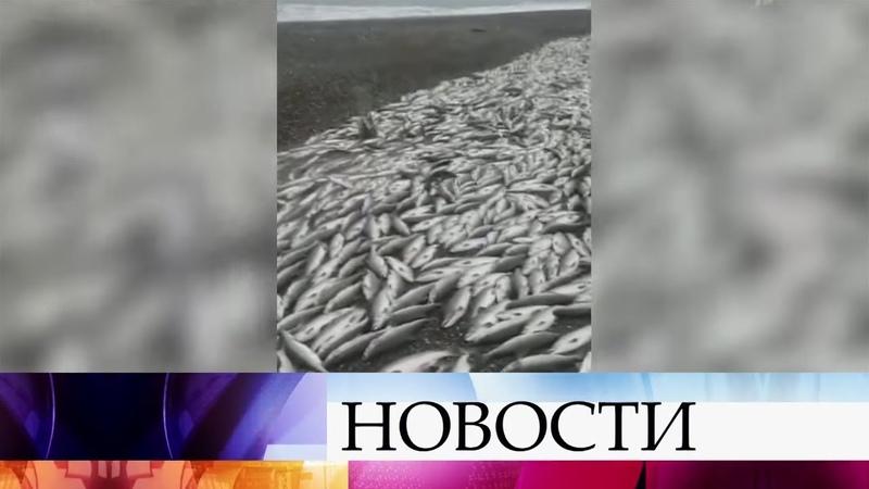 Жители Камчатского края сообщают о настоящем натиске промысловой рыбы.