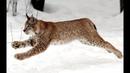 РЫСЬ ЛОВИТ БЕЛКУ СУМАШЕДШАЯ РЕАКЦИЯ / Lynx catches a squirrel. Mad reaction