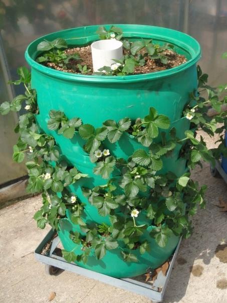 ВЫРАЩИВАНИЕ КЛУБНИКИ В БОЧКАХ Выращивание клубники в бочках набирает популярность с каждым годом.Преимущество этого способа состоит в том ,что ягоды,не соприкасаются с землей и поэтому остаются