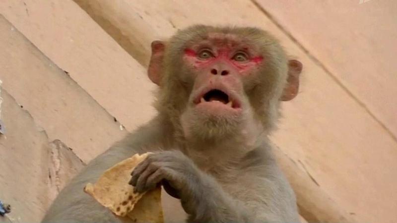 Правительственные здания вДели захватили многочисленные банды обезьян Новости Первый канал