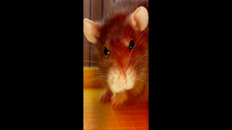 Глоба П.П. Рыжая крыса (13-й градус Близнецов)