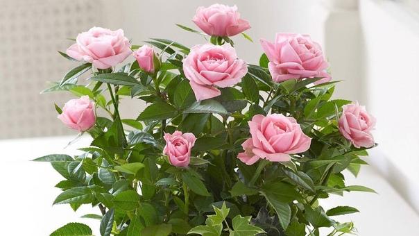 комнатные розы первое время после покупки растение нужно поставить на окошко, стараясь ориентировать листочки так, чтобы они были повернуты к свету. все опавшие листья тщательно соберите и