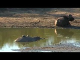 Safari Live Videos-Sunset Drive- July 14- Bob The Hippo With Terrapins