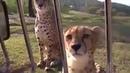 Как мяукают гепарды