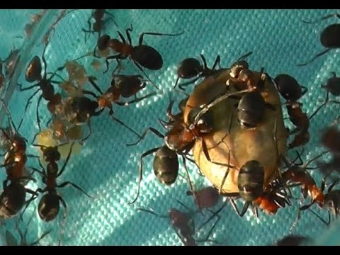 Загадочная и зверская битва муравьев с клещами