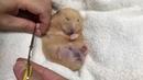 キンクマハムスターの爪切り/Trimming kinkuma hamsters nails