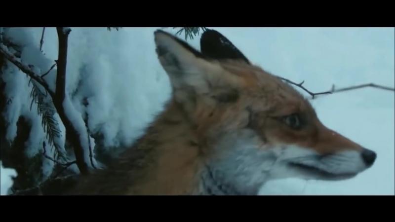 Vaşağın tülkü ovu⁄ Lynx hunts a fox