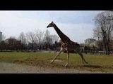 В Московском зоопарке впервые выпустили на улицу после спячки жирафа