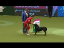 YKC Stakes Final _ Crufts 2018