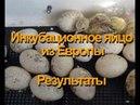 Экспериментальное индюшиное яйцо как прошла инкубация