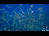 Diamondfish at Hin Luk Bat Rock | Diving Koh Chang, Thailand