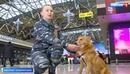 Вести: Собаки с уникальным чутьем: шалайку представили как новую породу