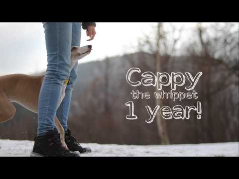 Cappy the whippet - 1 year