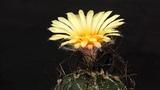 Astrophytum capricorne var. minor flowering