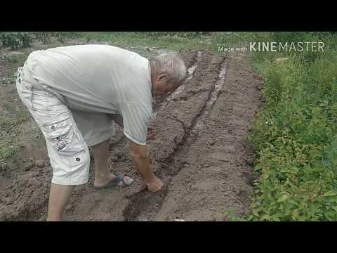 Что сеять после чеснока. Вася в огороде .Лучшее время сеять пекинскую капусту .
